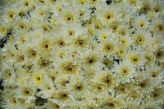 Petits pétales et fleurs blancs vifs, fond naturel, beauté de jardin Photos libres de droits