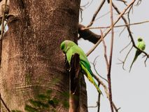 Petits perroquets verts sur l'arbre Image libre de droits