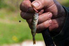 Petits petits poissons sur le crochet du ` s de pêcheur Photo libre de droits