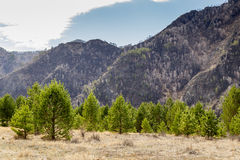 Petits pins verts au fond de montagnes dans le printemps Photographie stock