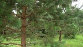 Petits pins verts dans le jardin banque de vidéos
