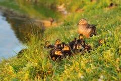 Petits platyrhynchos d'ana de canards étant prêts pour dormir, esprit Photos libres de droits