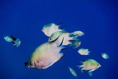 petits poissons argentés en mer bleue Images libres de droits
