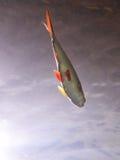 Petits poissons avec l'ailette rouge Photographie stock