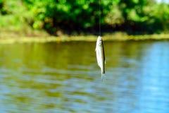 Petits poissons blancs sur un crochet Photographie stock libre de droits