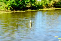 Petits poissons blancs sur un crochet Images libres de droits