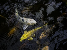 Petits poissons colorés jouant dans les vagues Photos libres de droits
