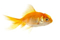 Petits poissons d'or photo stock