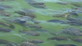 Petits poissons dans un étang banque de vidéos