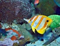 Petits poissons dans un aquarium Image libre de droits
