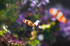 Petits poissons de clown dans l'aquarium image stock