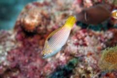 Petits poissons de corail jaunes de pétillement Photo stock