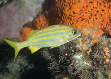 Petits poissons de grognement de bouche sur un récif. Images stock