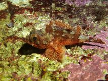 Petits poissons de scorpion rouges image libre de droits