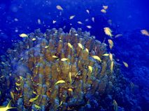Petits poissons jaunes nageant près des coraux Photo libre de droits