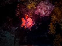 Petits poissons rouges de soldat Espèce marine Image stock
