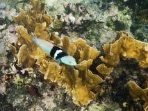 Petits poissons sur le récif coralien Photos libres de droits