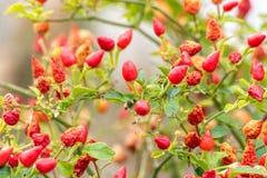 Petits poivrons rouges s'élevant sur un arbre dehors Images libres de droits