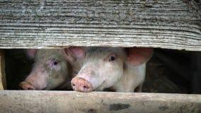 Petits porcelets roses à une ferme Deux porcs regardent dans l'appareil-photo par une fente dans une barrière en bois, protection clips vidéos