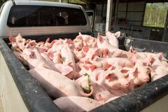 Petits porcs à la ferme Photographie stock