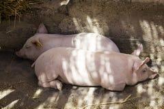 Petits porcs à une ferme de production animale Photos libres de droits