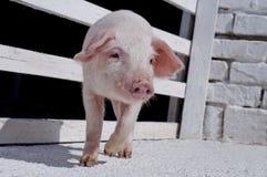 Petits porcs Photographie stock