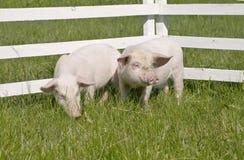 Petits porcs Photos libres de droits
