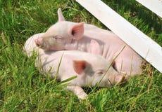 Petits porcs Photographie stock libre de droits