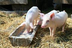 Petits porcs Photo stock