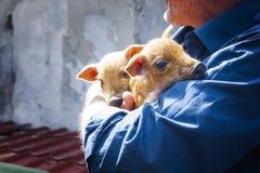 Petits porcs dans des bras Photographie stock libre de droits