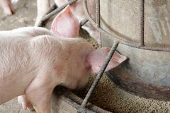 Petits porcs dans l'écurie image stock