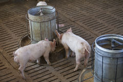 Petits porcs dans la ferme Photographie stock libre de droits