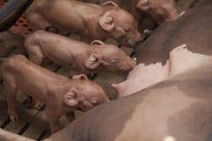 Petits porcs dans la ferme Images libres de droits