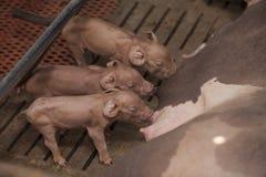 Petits porcs dans la ferme Photos libres de droits