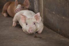 Petits porcs dans la ferme Photographie stock