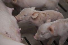 Petits porcs dans la ferme Images stock