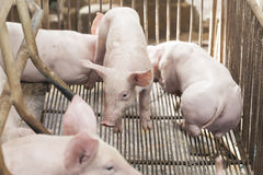 Petits porcs jouant heureusement Images libres de droits
