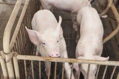 Petits porcs jouant heureusement Photos stock