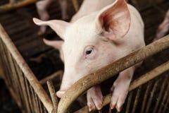Petits porcs jouant heureusement Photos libres de droits
