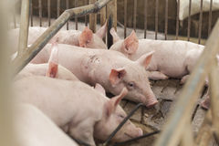 Petits porcs jouant heureusement Photographie stock libre de droits