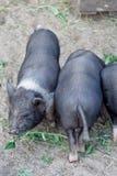 Petits porcs noirs Images stock