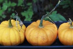 Petits potirons oranges alignés dans une rangée Photographie stock libre de droits