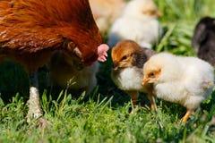 Petits poulets à la ferme Photographie stock libre de droits