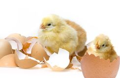 Petits poulets Images stock