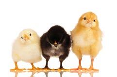 Petits poulets Images libres de droits