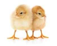 Petits poulets photos stock