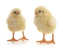 Petits poulets Photo libre de droits