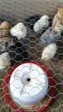 Petits poulets Image stock
