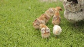 Petits poulets avec une poule sur l'herbe verte banque de vidéos