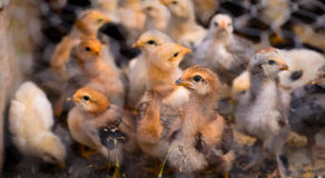 Petits poulets bruns photos libres de droits